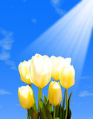 Yellow tulips against the blue sky — Stock Photo