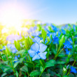 Stock Photo: Field of blue florets