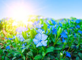 Field of blue florets — Stock Photo