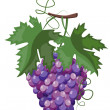 Branch of grapes - Stock Vector