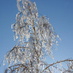 Birch winter — Stock Photo