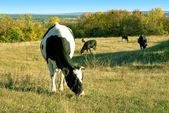 Cow on autumn grass — Stock Photo
