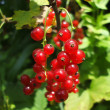 Bush of a red currant berry — Stock Photo