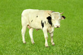 Young bull on solid green grass — Stock Photo