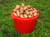 Patatesin kova — Stok fotoğraf