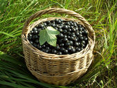 Fresh black currant berries — Stock Photo
