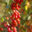 Wild barberry — Stock Photo #1328934