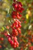 Wild barberry — Stock Photo