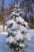 Fir-tree in to snow — Stock Photo