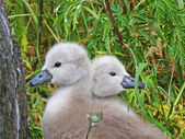 Swans - lovely disgusting ducklings — Stock Photo