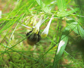 Bumblebee — Photo