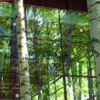 Birches on glass — Stock Photo