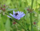 Bumblebee 2 — Stock Photo