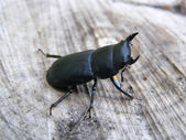 Dorcus parallelopipedus — Stock Photo