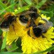 Bumblebee — Stock Photo #1520827