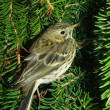 Stock Photo: Pipit against fur-tree branches
