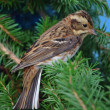Stock Photo: Rustic bunting on fur-tree branch