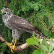 Goshawk — Stock Photo #1521690