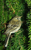 The pipit against fur-tree branches — Stock Photo