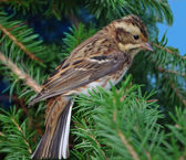 Rustic bunting on a fur-tree branch — Stock Photo