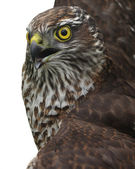 Hawk in a frame — Stock Photo