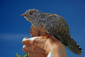 Cuckoo — Stock Photo