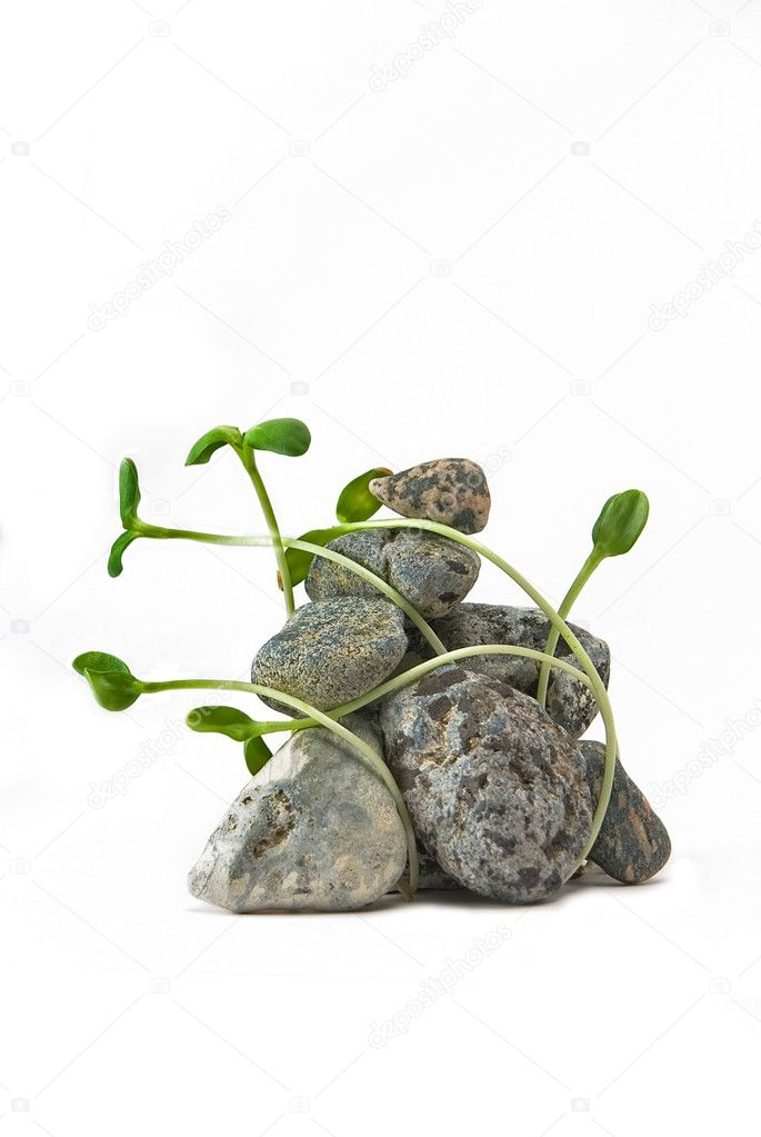 Stones and plant on the white background — Stock Photo #2321922