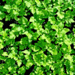 Greenery texture - Stock Photo
