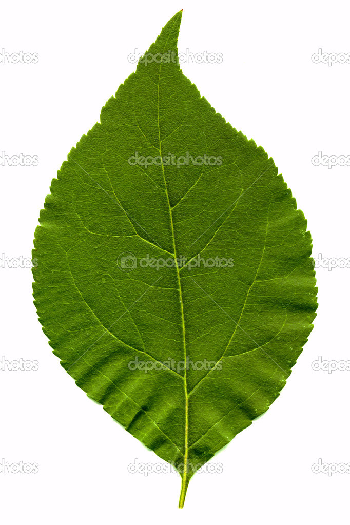 Green leaf isolated on the white  — Stock Photo #1327207
