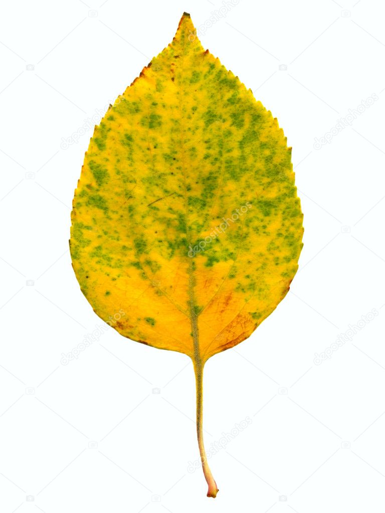 Autumnal leaf isolated on the white  Stock Photo #1327381