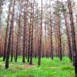 Pine forest view — Stock Photo
