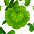 Stock Photo: Green leafs