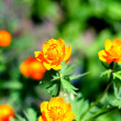 Stock Photo: Orange flowers