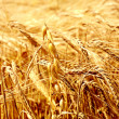 Wheat — Stock Photo #1657736