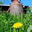 Dandelion and cask — Stock Photo