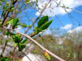 Bursting Bud — Stock Photo