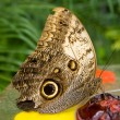 Owl butterfly (Caligo memnon) eating ber — Stock Photo