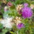 Stock Photo: Thistle flowers