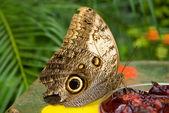 Owl butterfly (Caligo memnon) eating ber — Stock Photo