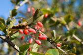 Barberry berries and leaves — Stock Photo