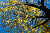 Maple tree top with yellow leaves — Stock Photo