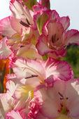 Pink gladiolus — Stock Photo