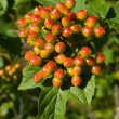 Unripe viburnum bunch — Stock Photo #1321770