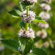 Mentha spicata (Spearmint, Spear Mint) - Stock Photo