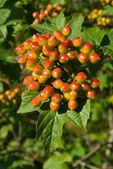 Unripe viburnum bunch — Stock Photo