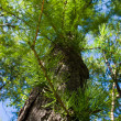 Stock Photo: Larch