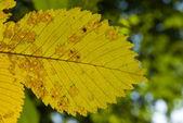Yellow elm leaf — Stock Photo