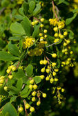 Blossoms and buds of barberry — Stock Photo
