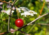 Cherry berry — Stock Photo