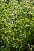 Mentha spicata (Spearmint, Spear Mint) — Stock Photo
